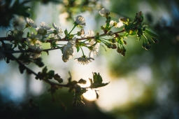 Vardagsbilder: körsbärsblommor